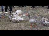 В Железногорском районе 16 марта 2013 года прошли гусиные бои.